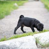 Little black pug puppy Stock Photo