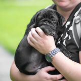 Little black pug puppy Stock Image