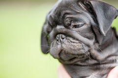Little black pug puppy Royalty Free Stock Photography