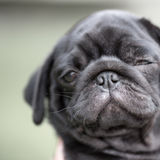Little black pug puppy Stock Photos