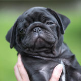 Little black pug puppy Stock Photography