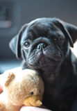 Little black pug puppy Royalty Free Stock Image