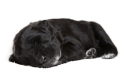 Little black puppy Royalty Free Stock Photography