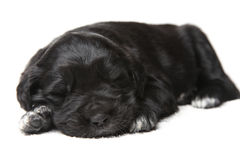 Little black puppy Stock Photo