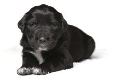 Little black puppy. Sitting and staring at the camera royalty free stock photo