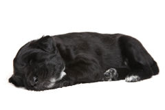Little black puppy Stock Photos