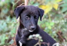 Little black puppy Royalty Free Stock Photos