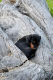A little black puppy Royalty Free Stock Photography