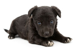Little black puppy Royalty Free Stock Photo
