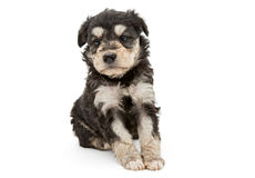 Little black puppy Royalty Free Stock Images