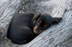 A little black puppy Stock Photography