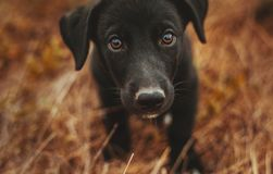 Little black puppy looks at me Royalty Free Stock Photography