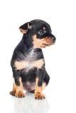 Little black puppy portrait Stock Image