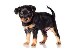 Little black puppy portrait Royalty Free Stock Photo