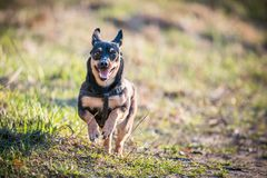 Little black puppy run. Little black puppy dog run, happy stock photography