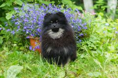Little black puppy Spitz walking. On the green grass royalty free stock images