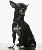 Little black puppy terrier Stock Photography