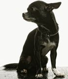 Little black puppy terrier Royalty Free Stock Photo