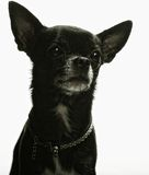 Little black puppy terrier Royalty Free Stock Photos