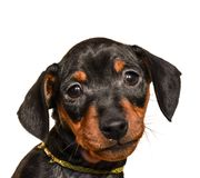 Black Miniature pinscher puppy. Cute inactive beautiful little Miniature Pinscher puppy head portrait looking into the camera on white background Stock Photos
