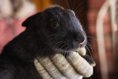 Little black rabbit. A gloved hand holds a small black rabbit Stock Images
