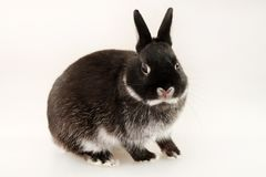 Little black rabbit on white background. Netherland Dwarf Rabbit. Shooting in the studio Royalty Free Stock Images