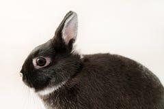 Little black rabbit on white background. Netherland Dwarf Rabbit. Shooting in the studio Stock Photo