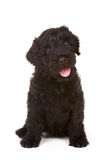 Little Black Russian Terrier Puppy on White Backgr Royalty Free Stock Images