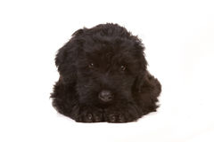 Little Black Russian Terrier Puppy on White Backgr Stock Photo