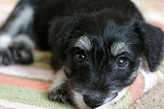 Little black schnauzer Stock Image
