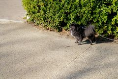 Little black spitz - pomeranian with rope line, is standing for waiting something at the outdoor park. Little black spitz pomeranian with rope line, is standing stock photo