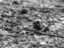 Little Black and White Baby Toad Royalty Free Stock Images