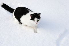 Little black and white cat sitting in the snow Royalty Free Stock Photo