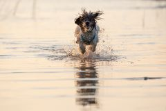 Little black and white dog running around in shallow waters. stock images