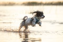 Little black and white dog running around in shallow waters. A little black and white furry dog running around in shallow waters during a summer afternoon royalty free stock photo