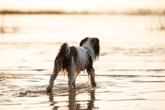 Little black and white dog running around in shallow waters. royalty free stock photo