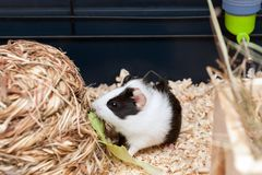 Little guinea pig eating salad leaf. Royalty Free Stock Photos