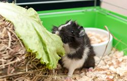 Little guinea pig eating salad leaf. Stock Image