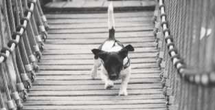 A little black and white Jack Russel plays outside royalty free stock image