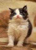 Little black and white kitten Royalty Free Stock Image