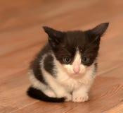 Little black and white kitten Stock Images