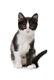 Little black and white kitten Royalty Free Stock Image