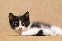 Little black and white kitten at home. Adopted pet. Royalty Free Stock Images