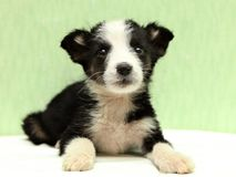 The little black and white puppy on bed Stock Photography