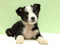 The little black and white puppy on bed Royalty Free Stock Photography