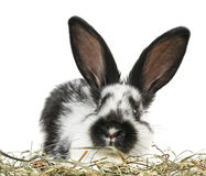Little black and white rabbit Stock Images