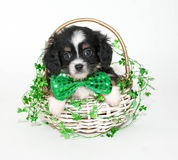 St. Patrick's Day Puppy Royalty Free Stock Photo