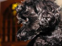 Little black young toy poodle stock photo