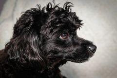 Little black young toy poodle royalty free stock images