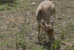 Little  Blackbuck Royalty Free Stock Image